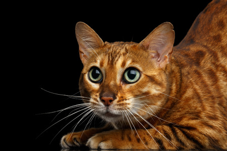 Close-up Funny Bengal Cat, Curious Looking in camera with beautiful green eyes, isolated on Black Background