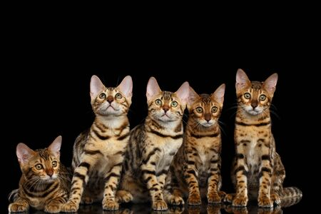 Close-up Portrait of Group Adorable breed Bengal kittens, Curious Looking in camera isolated on Black Background, Front view on Five cats Stock Photo