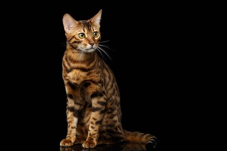 Gold Bengal Cat with rosette Sitting on Isolated black background with reflection