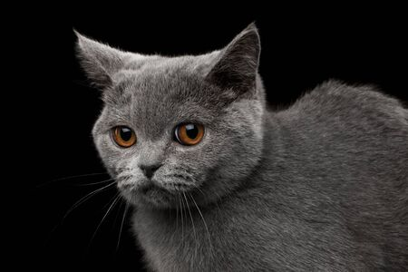 offended: Close-up Portrait of offended Gray British Kitten, funny Looking, on Isolated black background