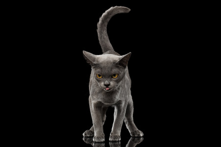 maldestro: Blue Burmese Kitten, standing at front view, Looking clumsy and show tongue, tail like question sign, on Isolated black background with reflection