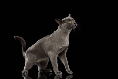 maldestro: Blue Burmese Kitten, standing at side view, Looking clumsy, on Isolated black background with reflection