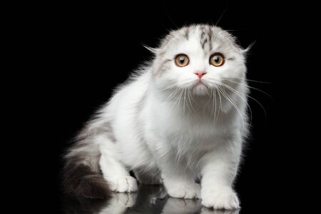 sneaks: Furry white scottish fold highland breed kitten with tabby sneaks and curious looking in camera isolated black background, hunting cat Stock Photo