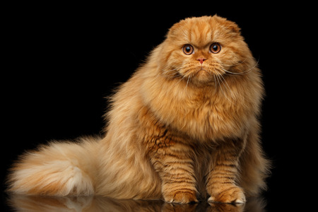 Furry red scottish fold highland breed Cat sitting on isolated black background, fat ginger cat 스톡 콘텐츠