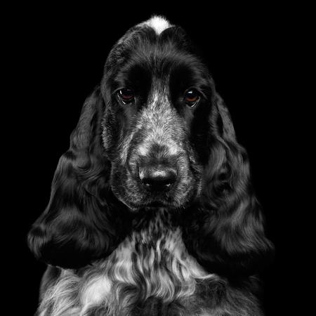 イングリッシュコッカースパニエル犬の品種、白と黒の色、分離黒い背景、正面にカメラで見て同情のクローズ アップの肖像画 写真素材