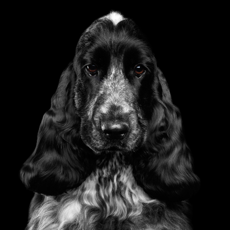 Close-up portrait of dog english cocker spaniel breed, white and black color, pity looking in camera on isolated black background, front view