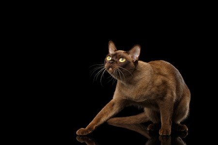 Adorable Burmese Cat with Chocolate fur color, stretched on isolated black background with reflection
