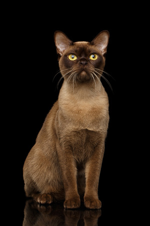 Adorable Burmese Cat with Chocolate fur color, Sits on isolated black background with reflection Stock Photo