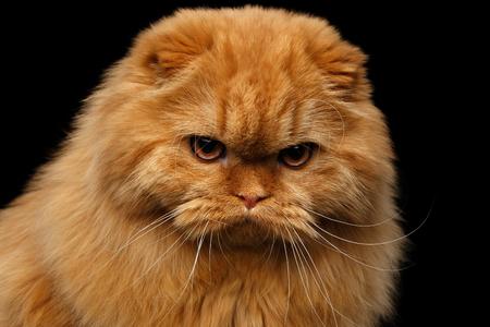 Close-up portret van knorrige rode Schotse vouwen highland ras Boze kat staren in de camera op geïsoleerde zwarte achtergrond
