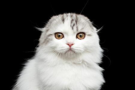 Close-up portrait of Furry white scottish fold highland breed kitten with tabby curious looking in camera isolated black background Stock Photo