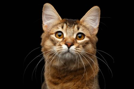Close-up Portrait of pedigree orange Somali kitty looking in camera on isolated black background Stock Photo