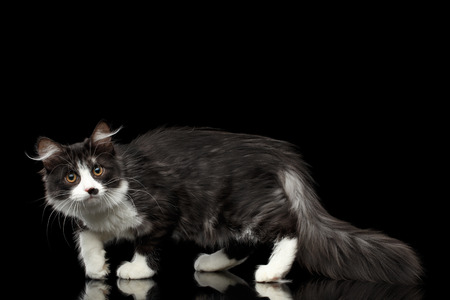 Playful Black with white Siberian Cat with spot on nose walking with furry tail on isolated black background with reflection, Side view