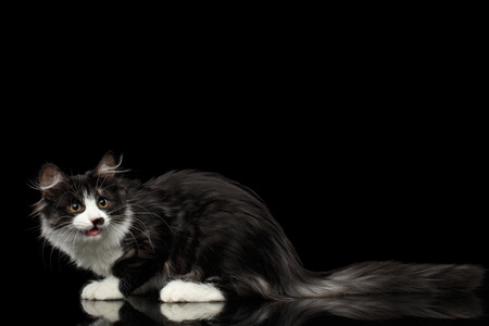 Cute Black with white Siberian Cat with spot on nose sitting with opened mouth, isolated black background, profile view Stock Photo