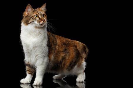 kurilian bobtail: Crouch Ginger with white Kurilian Bobtail Cat standing on isolated black background, front view Stock Photo