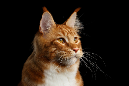 Close-up Portrait of Amazing Tabby Ginger with white Maine Coon Cat looking at side Isolated on Black Background, Profile view