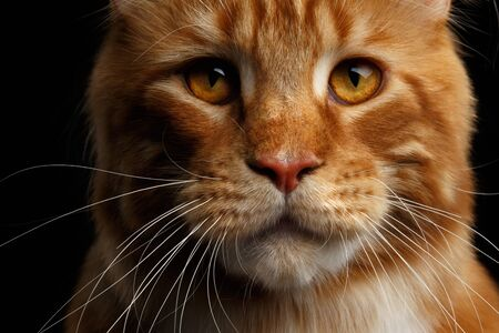 Close-up Head of Amazing Tabby Ginger with white Maine Coon Cat sad looks Isolated on Black Background, Front view