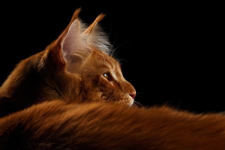 Close-up Amazing Tabby Ginger Maine Coon Cat Liegen en op zoek naar Geïsoleerd op zwarte achtergrond, profiel te bekijken Stockfoto