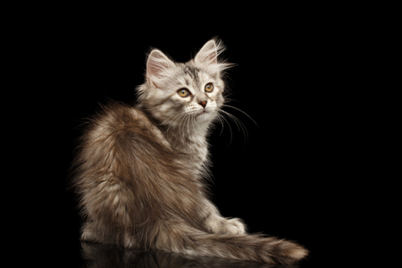 Silver Tabby Siberian kitty with furry coat sitting and looking up on isolated black background with reflection, back view Stock Photo