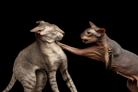 henpecked: Closeup Two Peterbald Cats, family Fight, hairless and silver, female attack male, isolated black background
