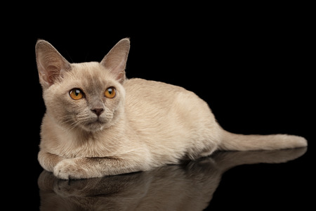 Burmese kitty with platinum color of fur lying and staring up on isolated black background, front view Stock Photo