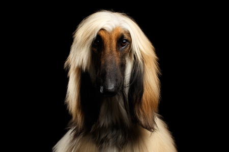 Close-up Headshot of Afghan Hound fawn Dog on isolated Black Background, front view Stock Photo