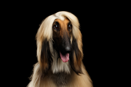Close-up Headshot of Afghan Hound fawn Dog Amazement Staring on isolated Black Background, front view