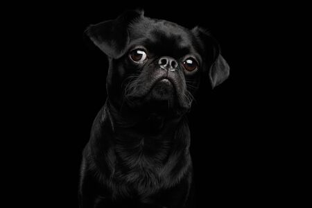 petit: Close-up headshot of Amazing petit brabanson dog curious looking in camera on isolated black background, front view