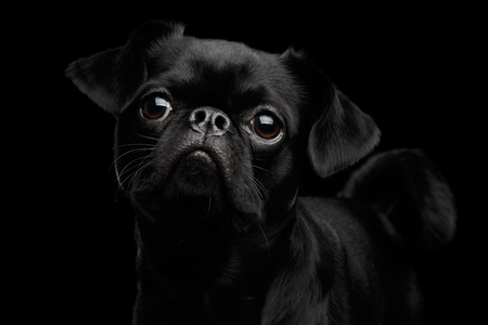 petit: Close-up head of Amazing petit brabanson dog looking with hope on isolated black background, front view Stock Photo
