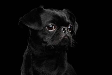 sadly: Close-up headshot of Amazing petit brabanson dog sadly looks on isolated black background, profile view Stock Photo