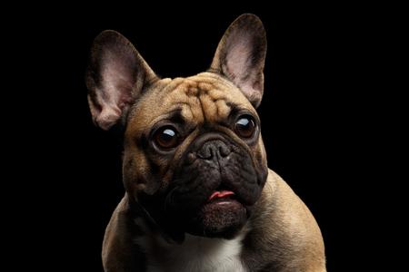 Close-up headshot van Fawn Franse Bulldog Hond Verbazing Staring, Verrast geopende mond met grote ronde ogen op geïsoleerde zwarte achtergrond, vooraanzicht Stockfoto