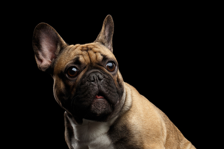 Close-up headshot of Fawn French Bulldog Dog Amazement Staring, Surprised opened mouth with Big round eyes on isolated black background, side view Stock Photo