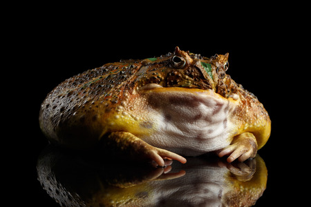 horned frog: Argentine Horned Frog or Pac-man, Ceratophrys ornata isolated on black background with reflection