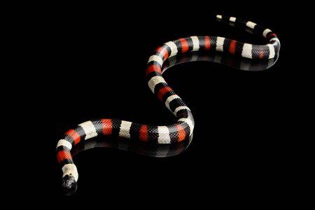Campbells milk snake, Lampropeltis triangulum campbelli, isolated on black background with reflection Stock Photo