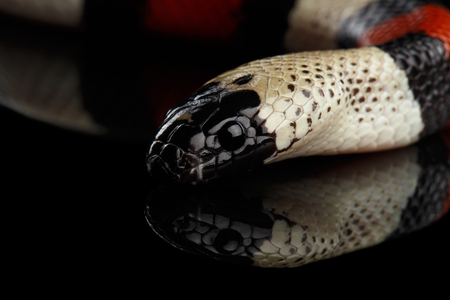 Close-up Campbells milk snake, Lampropeltis triangulum campbelli, isolated on black background with reflection