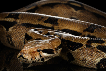 big Boa constrictor snake imperator color,lying on isolated black background with reflection Stock Photo