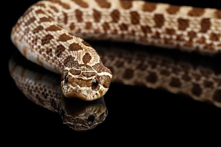 Closeup Western Hognose Snake, Heterodon nasicus isolated on black background with reflection Stock Photo