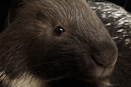 Close-up portrait of Porcupine face isolated on black background, wild animal