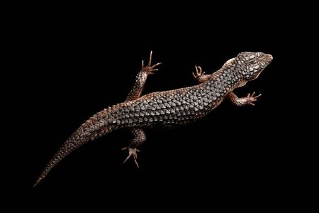 Top view on brown skink, tropidophorus baconi, isolated black background
