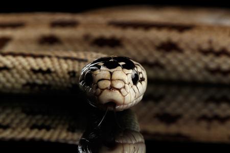 Eastern kingsnake or common king snake, Lampropeltis getula californiae, isolated black background Stock Photo