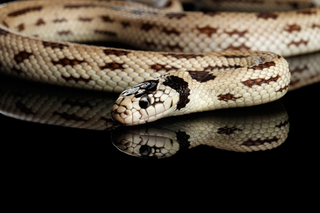 Eastern kingsnake or common king snake, Lampropeltis getula californiae, isolated black background Stock Photo