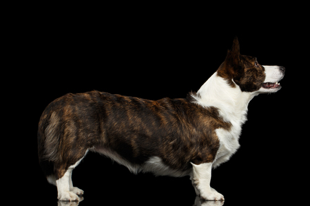 Welsh Corgi Cardigan Dog Standing on Isolated Black Background, side view