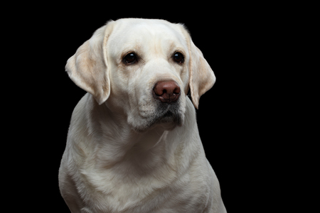 Close-up Portrait of sad Labrador retriever dog on isolated black background, front view