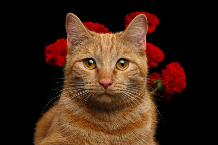 Ritratto di Close-up di Ginger Cat ha portato fiore come un regalo e detiene garofani dietro dietro isolato su sfondo nero, vista frontale Archivio Fotografico - 72289386