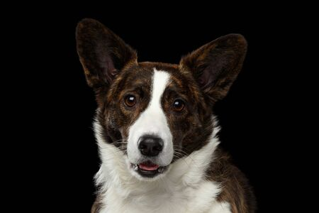 Close-up portrait of Brown with white Welsh Corgi Cardigan Dog, Curious face looking in camera, opened mouth on Isolated Black Background, front view