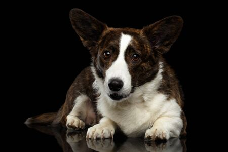 Brown Welsh Corgi Cardigan Dog Lying on Isolated Black Background, front view Stock Photo