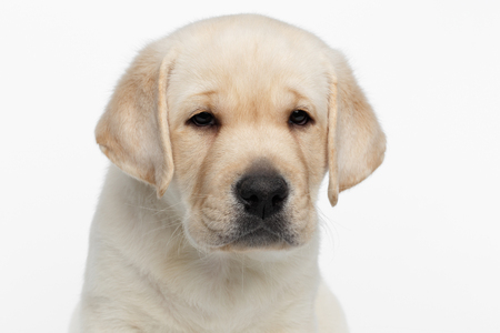 sadly: Close-up portrait of Unhappy Labrador puppy Looking sadly on white background, front view