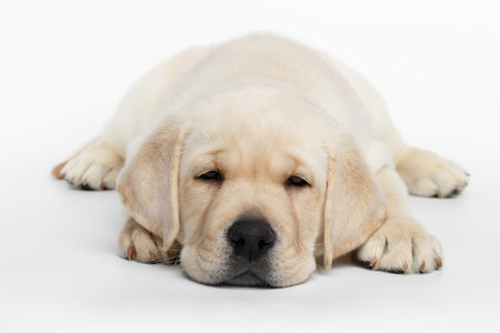 Unhappy Labrador puppy Lying and Looking down on white background, front view Stock Photo