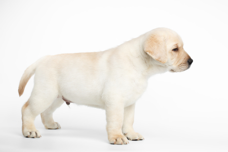 Small Labrador puppy Standing and Looking forward on white background, side view
