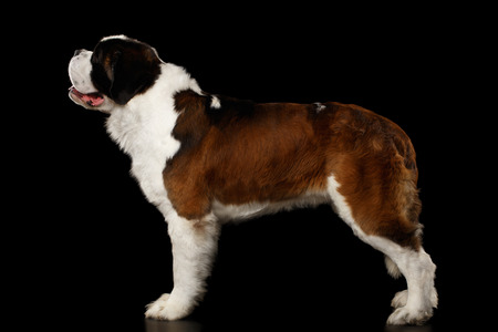 Huge Saint Bernard Dog Standing on Isolated Black Background, Side view