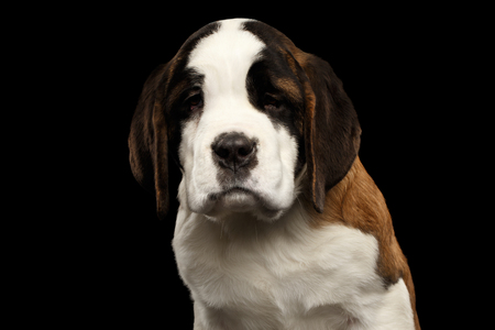 saint bernard: Close-up Portrait of Unhappy Saint Bernard Puppy Looks down Sadly on Isolated Black Background, Front view